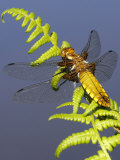 Broad-Bodied Chaser Dragonfly on Fern  Clearly Showing Veins in Wings Cornwall  UK