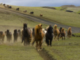 Icelandic Horses Runnng Near Landmannalaugar  Iceland