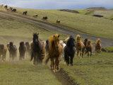Icelandic Horses Runnng Near Landmannalaugar  Iceland