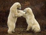 Two Polar Bears Play Fighting  Churchill  Hudson Bay  Canada