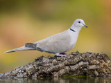 Collared Dove at Water's Edge  Alicante  Spain