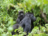 Female Mountain Gorilla Carrying Baby on Her Back  Volcanoes National Park  Rwanda  Africa