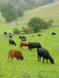 Domestic Cattle on Grazing Meadows  Peak District Np  Derbyshire  UK