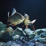 Tinfoil Barb Pair Interacting  Freshwater  from Se Asia
