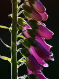 Foxglove Backlit  Cornwall  UK