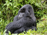 Male Silverback Mountain Gorilla Sitting  Watching  Volcanoes National Park  Rwanda  Africa