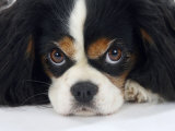 Cavalier King Charles Spaniel  Tricolour  Portrait