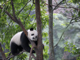 Giant Panda Climbing in a Tree Bifengxia Giant Panda Breeding and Conservation Center  China