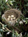 Blackcap Nest with Five Eggs  Hampshire  England  UK