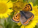 Small Copper Butterfly on Fleabane Flower  Hertfordshire  England  UK