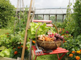 Summer Potager Style Garden with Freshly Harvested Vegetables in Wooden Trug  Norfolk  UK