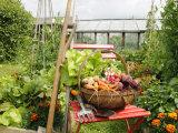 Summer Potager Style Garden with Freshly Harvested Vegetables in Wooden Trug  Norfolk  UK