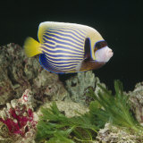 Emperor Angelfish Captive  from Indo-Pacific