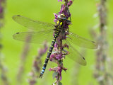 Southern Hawker Dragonfly Resting on Purple Loosestrife Flower  Hertfordshire  England  UK