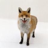 Red Fox Vixen Panting  UK