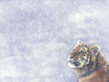 Siberian Tiger Looking Up in Snow