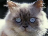 Persian Cream Cat  Close Up of Face and Blue Eyes