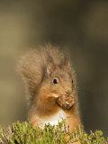 Red Squirrel Feeding  Cairngorms  Scotland  UK