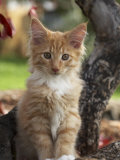 Maine Coon Red Tabby Cat Kitten  Three-Months