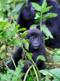 Young Mountain Gorilla Sitting  Volcanoes National Park  Rwanda  Africa