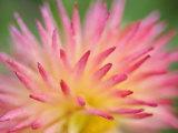 Dahlia Cultivar Abstract Close Up of Petal Formation  UK