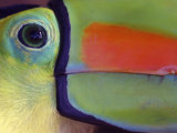 Keel Billed Toucan  Close-Up of Face  Costa Rica