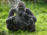 Western Lowland Gorilla Mother Feeding with Baby Investigating Grass Captive  France