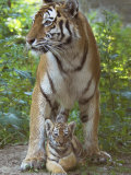 Siberian Tiger Mother with Young Cub Resting Between Her Legs