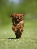Cavalier King Charles Spaniel  Ruby  10 Month  Running Fast in Garden