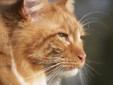 Maine Coon Red Tabby Cat  Portrait