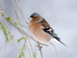 Chaffinch Perched in Pine Tree  Scotland  UK
