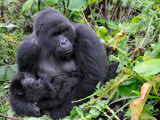 Female Mountain Gorilla with Her Baby  Volcanoes National Park  Rwanda  Africa