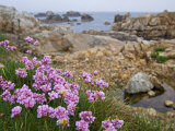 Thrift Sea Pink in Flower Among Rocks at Plougrescant  Brittany  France
