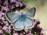 Chalkhill Blue Butterfly Male Feeding on Flowers of Marjoram  UK