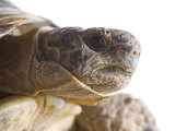 Greek Spur Thighed Tortoise Head Portrait  Spain