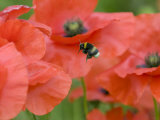 Bumble Bee Flying to Poppy Flower to Gather Pollen  Hertfordshire  England  UK
