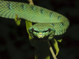 Temple Wagler&#39;s Pit Viper Bako National Park  Sarawak  Borneo