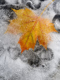 Field Maple Leaf Frozen in Ice  Cornwall  Uk October