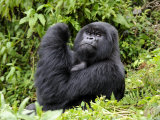 Male Silverback Mountain Gorilla Looking Up  Volcanoes National Park  Rwanda  Africa