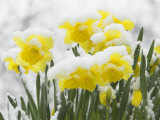 Daffodils Flowers Covered in Snow  Norfolk  UK