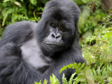 Male Silverback Mountain Gorilla Resting  Volcanoes National Park  Rwanda  Africa