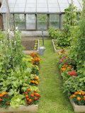 Summer Garden with Mixed Vegetables and Flowers Growing in Raised Beds with Marigolds  Norfolk  UK