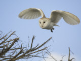 Barn Owl Hunting Along Roadside Hedge  Norfolk  UK