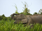 Bornean Pygmy Elephant Threshing Food  Sukau  Sabah  Borneo