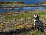 Puffin with Beak Full of Sand Eels, Isle of Lunga, Treshnish Isles, Inner Hebrides, Scotland, UK Papier Photo par Andy Sands