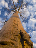 Looking Up at Baobab on Baobabs Avenue  Morondava  West Madagascar