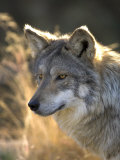 Mexican Wolf Captive  Living Desert Zoo  Palm Desert  California  USA