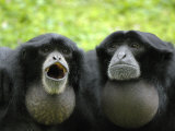 Two Siamang Gibbons Calling  Vocal Pouches Inflated  Endangered  from Se Asia