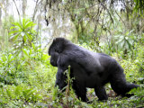Male Silverback Mountain Gorilla Knuckle Walking  Volcanoes National Park  Rwanda  Africa
