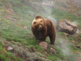 Brown Bear on Grassy Slope  Valley of the Geysers  Kronotsky Zapovednik  Kamchatka  Far East Russia